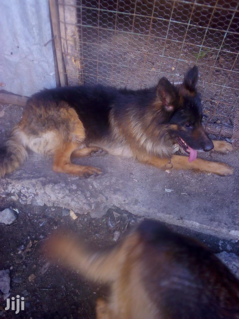Archive: 1+ year Male Purebred German Shepherd