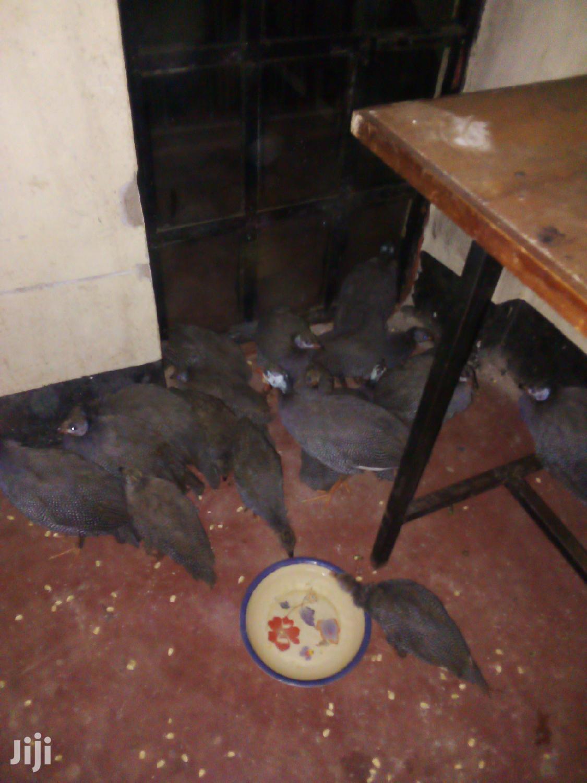 Archive: Guinea Fowls(Kanga)