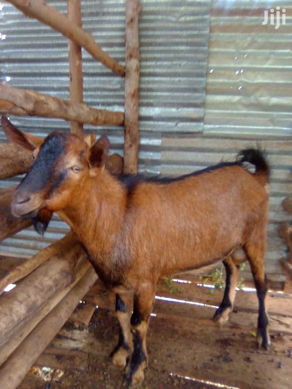 Archive: Dairy Goat