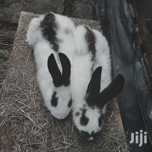 Rabbit Breeders Checkered Giant Buck   Livestock & Poultry for sale in Nairobi, Nairobi Central