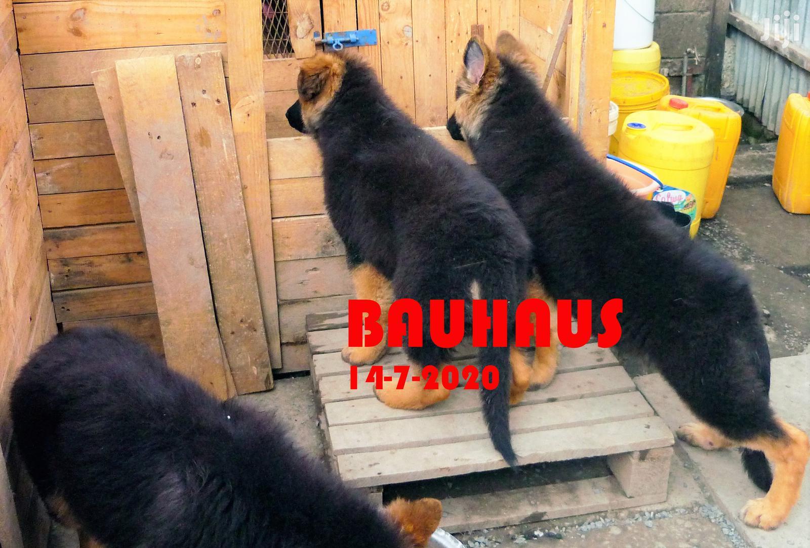 1-3 month Male Purebred German Shepherd | Dogs & Puppies for sale in BuruBuru, Nairobi, Kenya