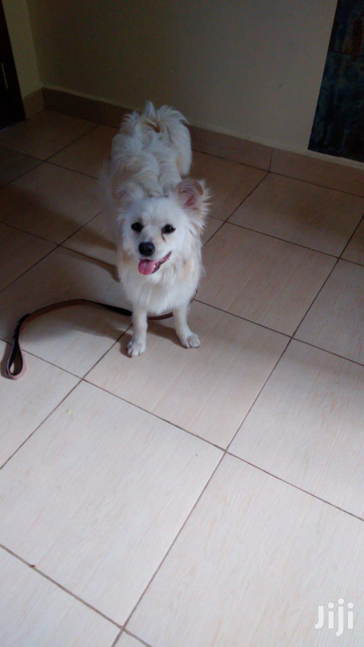 Archive: 6-12 Month Female Purebred Japanese Spitz