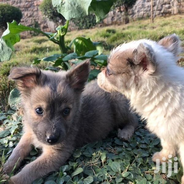 1-3 month Male Mixed Breed Japanese Spitz | Dogs & Puppies for sale in Nairobi Central, Nairobi, Kenya
