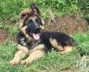 1-3 Month Male Purebred German Shepherd | Dogs & Puppies for sale in Nairobi, Kahawa