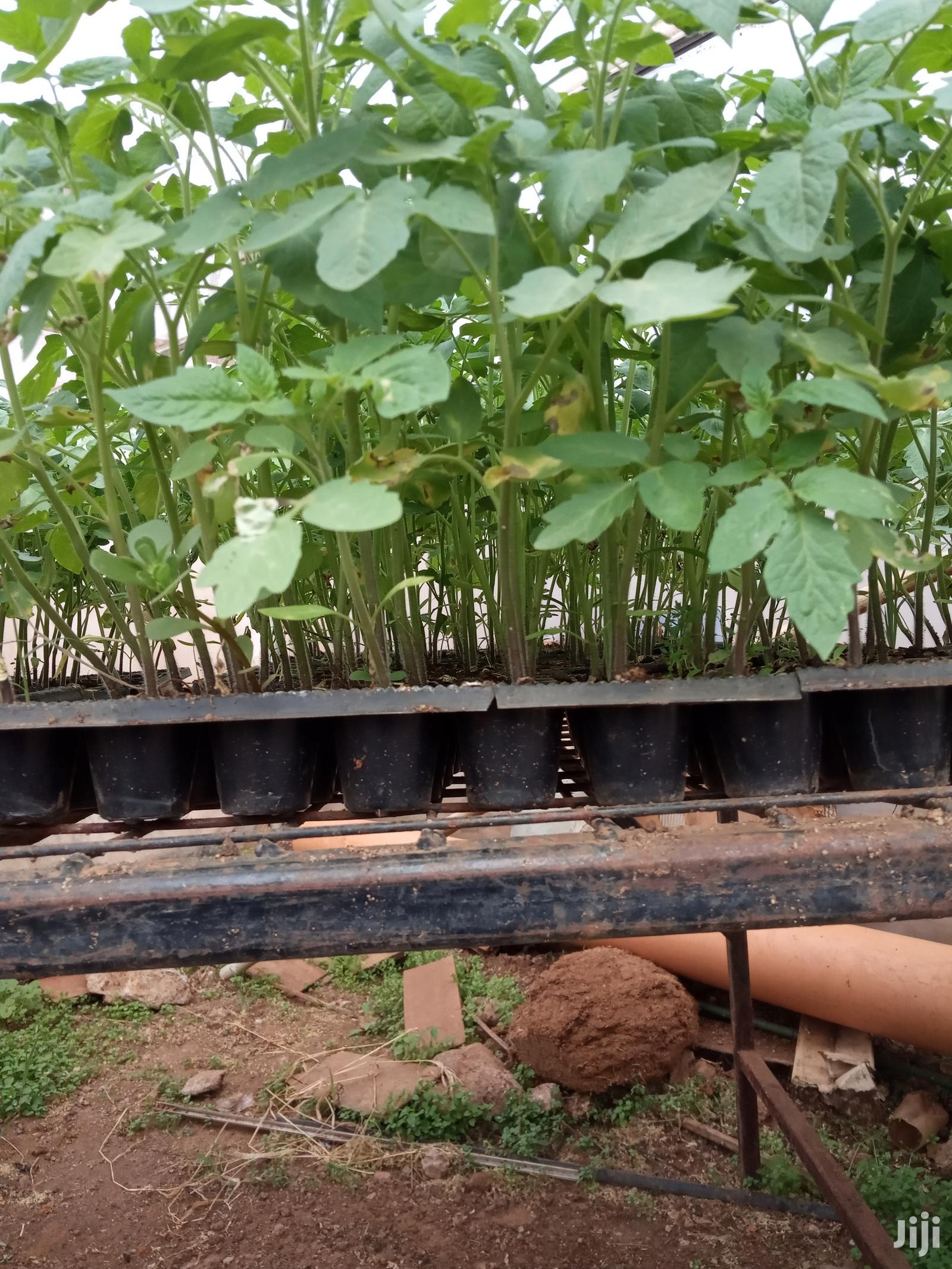 Zara F1 Tomato Seedlings
