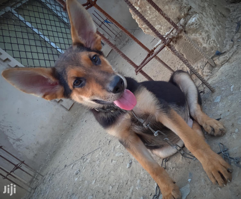 3-6 Month Male Purebred German Shepherd   Dogs & Puppies for sale in Jomvu, Mombasa, Kenya