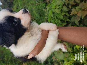 0-1 Month Female Purebred Havanese | Dogs & Puppies for sale in Nairobi, Nairobi Central