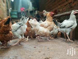 Kuku Kienyeji Available | Livestock & Poultry for sale in Migori, North Sakwa (Awendo)