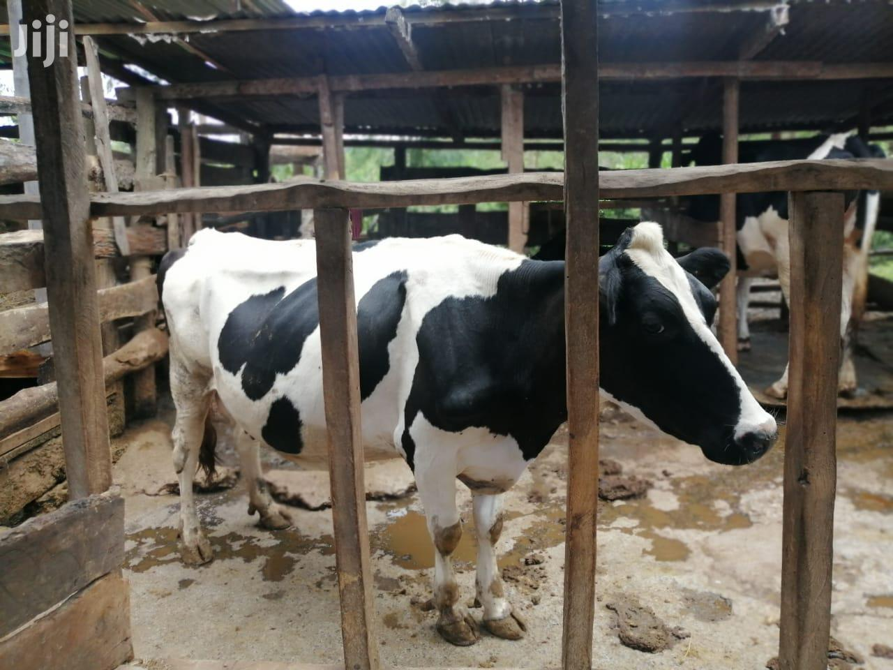 Archive: Dairy Cows For Sale