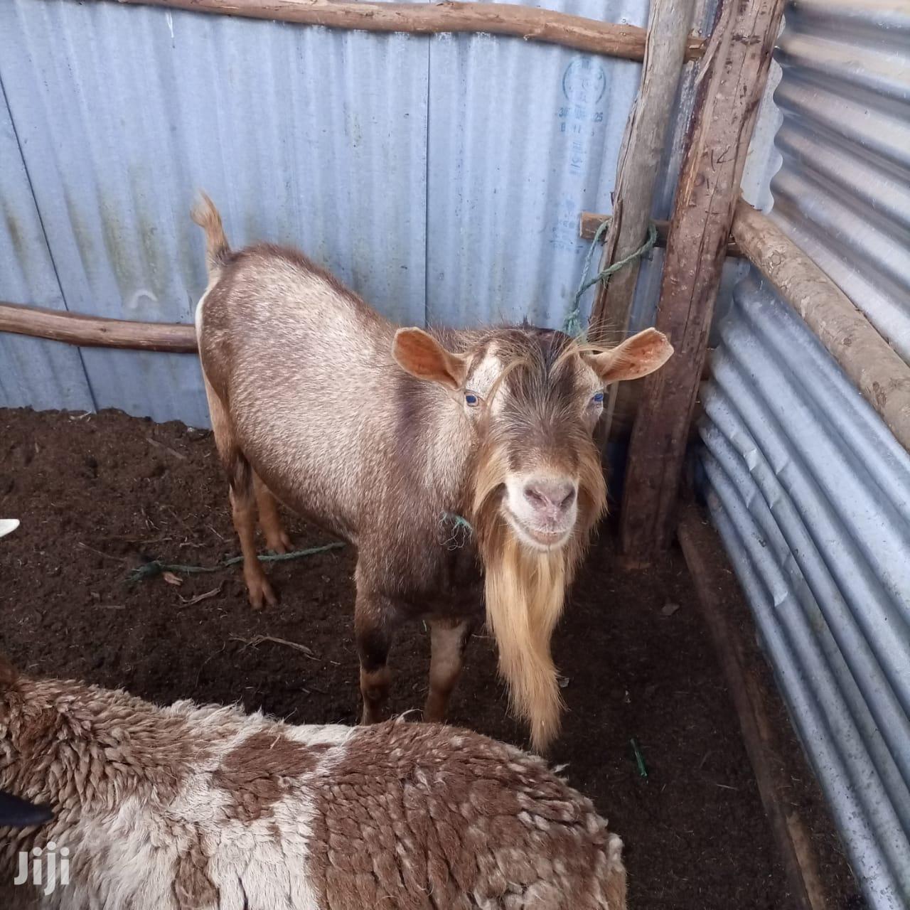 Archive: Dairy Goats(Bucks)