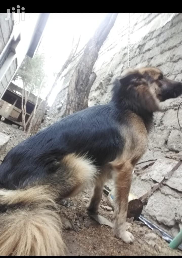 Archive: 1+ Year Female Purebred German Shepherd