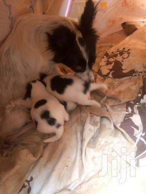 1-3 Month Male Purebred Chihuahua   Dogs & Puppies for sale in Nairobi, Kilimani