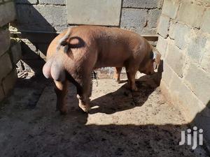 Duroc Boar | Livestock & Poultry for sale in Githunguri, Ikinu