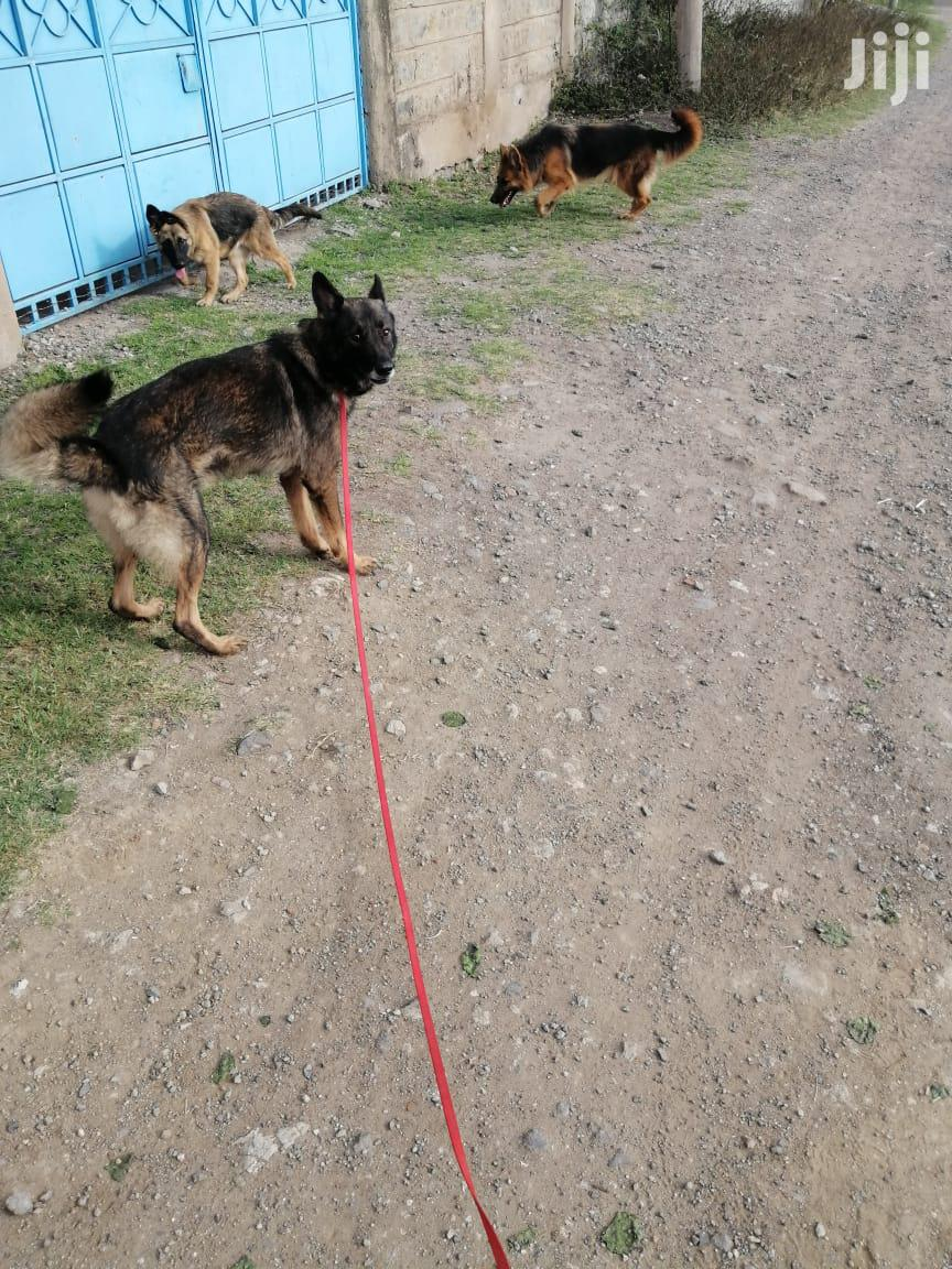 1+ Year Male Purebred German Shepherd   Dogs & Puppies for sale in Kitengela, Kajiado, Kenya