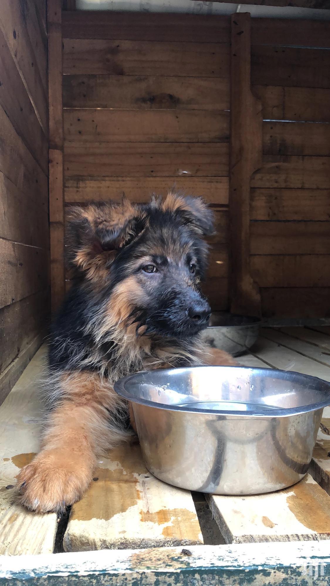 1-3 month Male Purebred German Shepherd | Dogs & Puppies for sale in Juja, Kiambu, Kenya