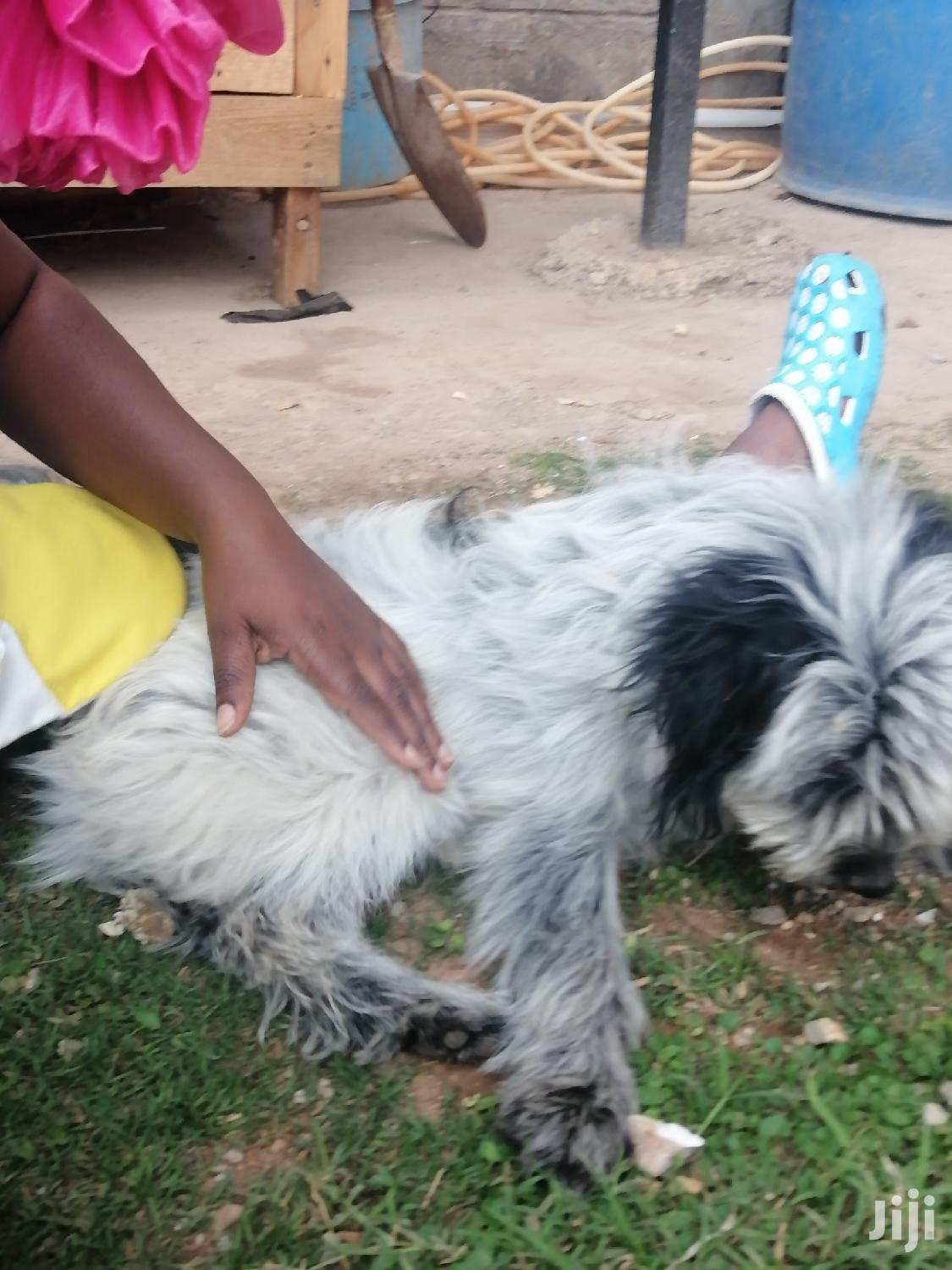 6-12 Month Male Mixed Breed Maltese | Dogs & Puppies for sale in Clay City, Nairobi, Kenya