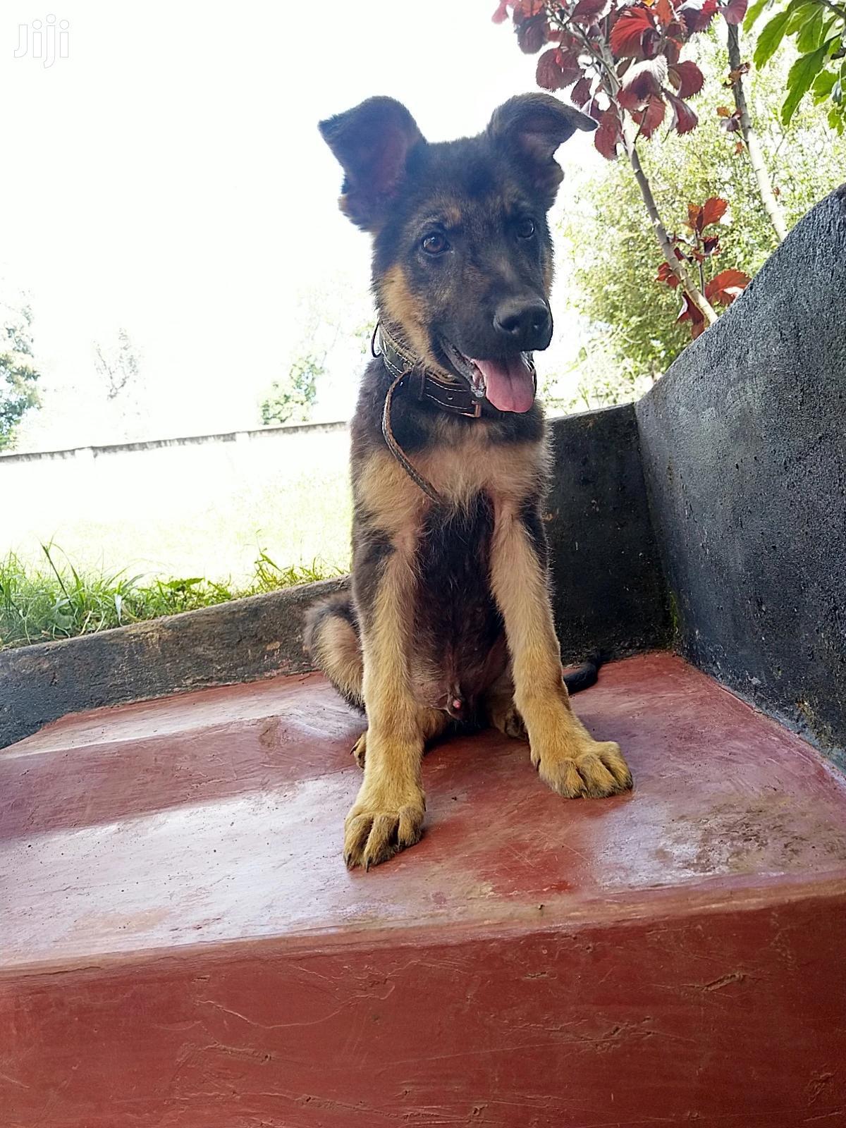3-6 month Male Purebred German Shepherd