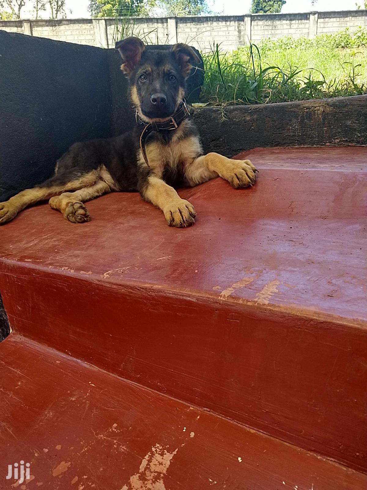 3-6 month Male Purebred German Shepherd | Dogs & Puppies for sale in Municipality, Meru, Kenya