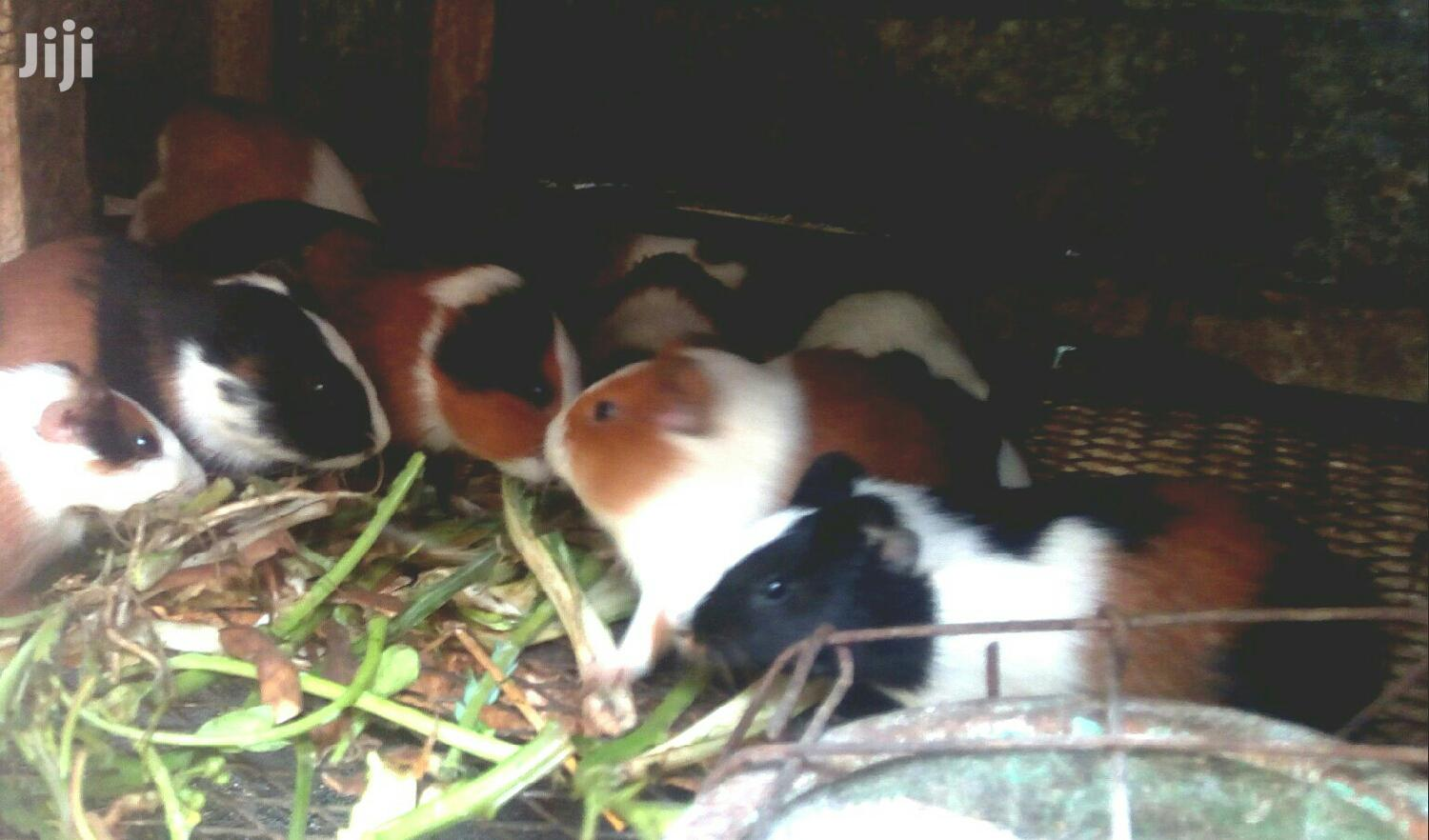 Archive: Guinea Pigs For Sale