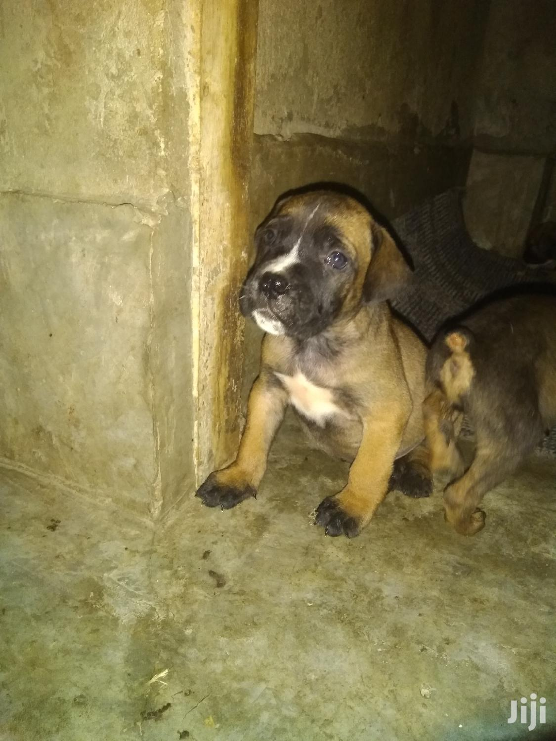 Archive: 1-3 month Female Purebred Boerboel