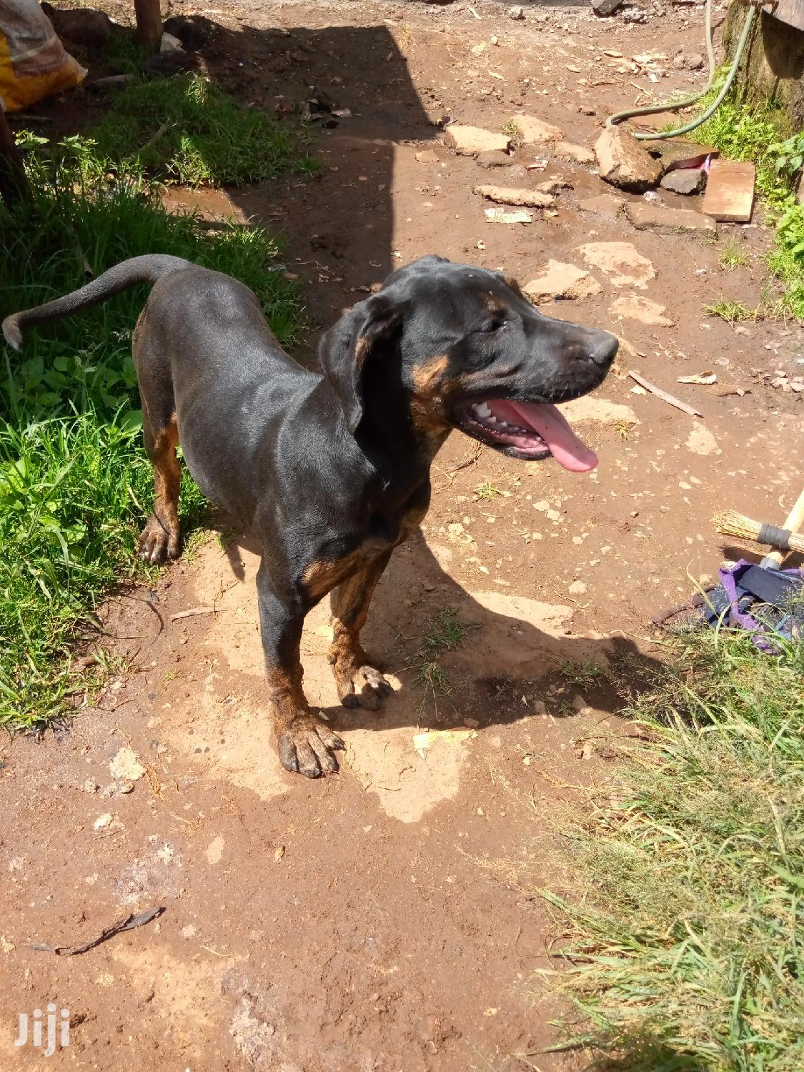 Archive: 3-6 month Female Mixed Breed Boerboel