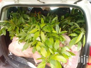 Hass Seedlings | Feeds, Supplements & Seeds for sale in Kiambu, Thika