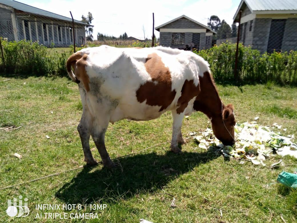 Archive: Dairy Cows