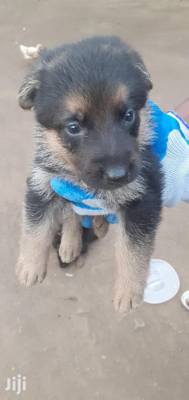 3-6 month Male Purebred German Shepherd   Dogs & Puppies for sale in Migosi, Kisumu, Kenya