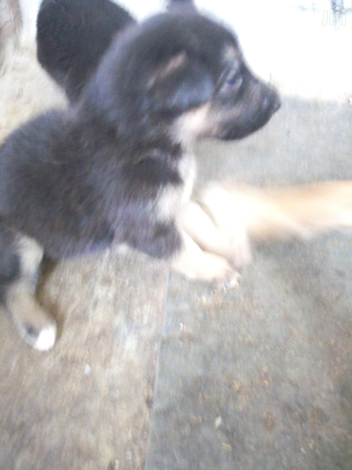 Archive: 0-1 Month Female Mixed Breed German Shepherd