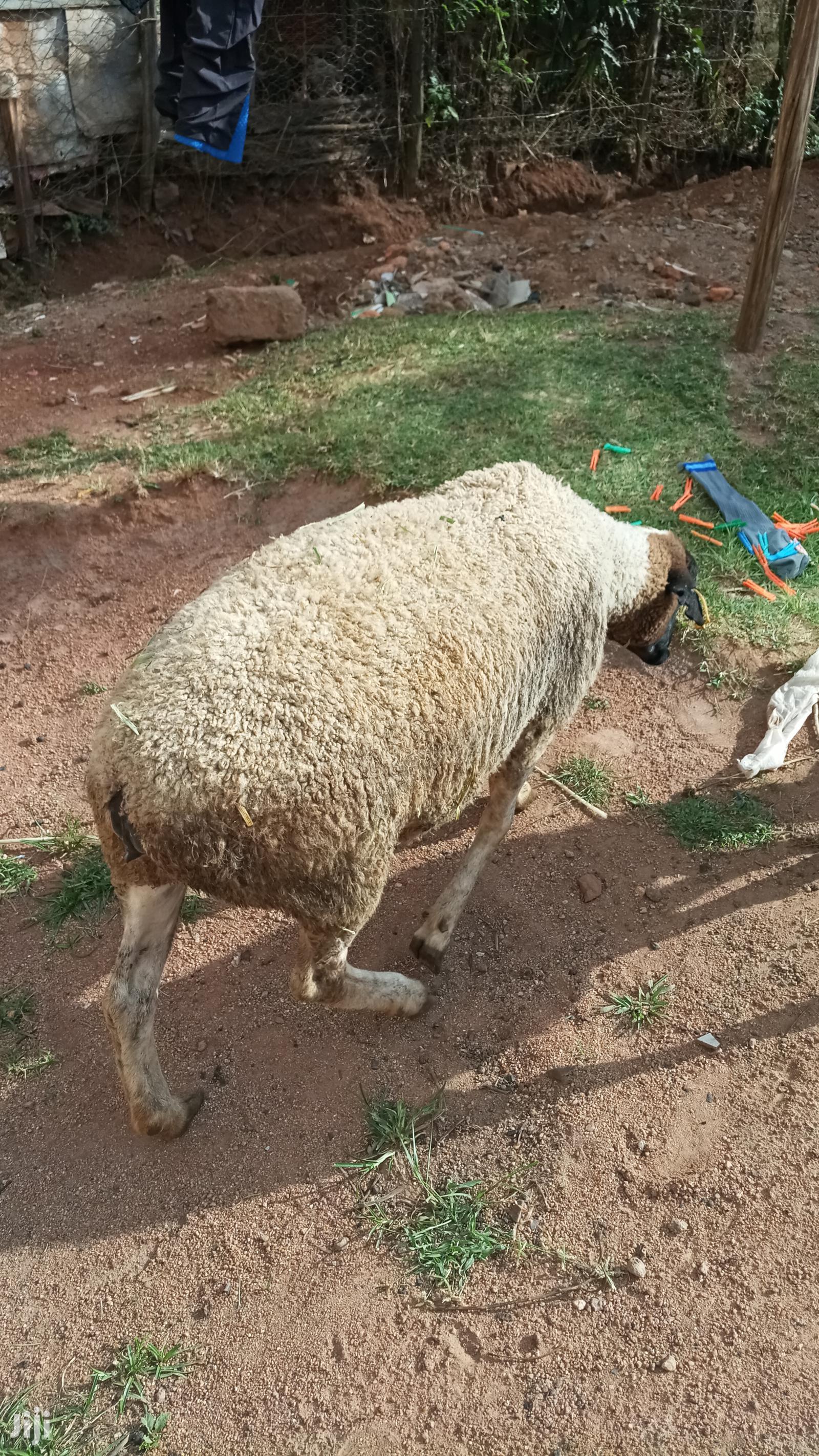 Dorper Sheep. | Livestock & Poultry for sale in Kisii Central, Kisii, Kenya