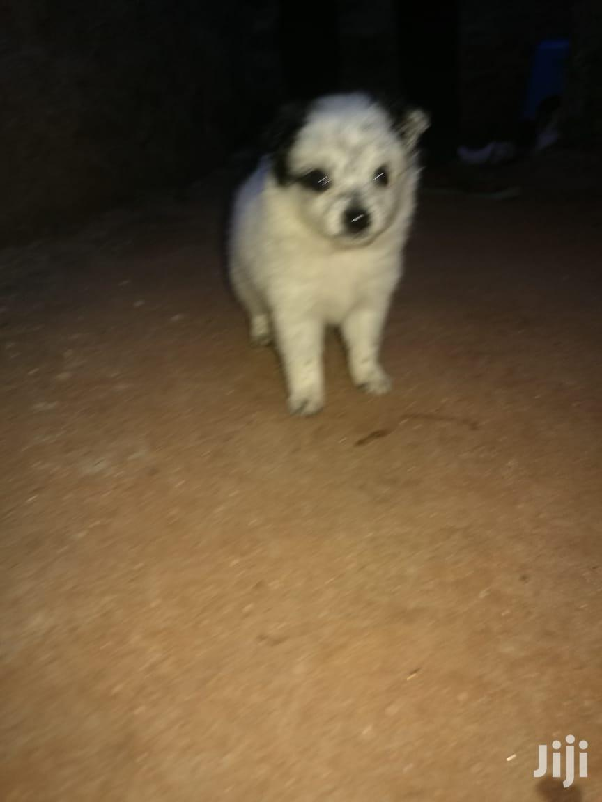 Archive: 1-3 month Male Purebred Japanese Spitz