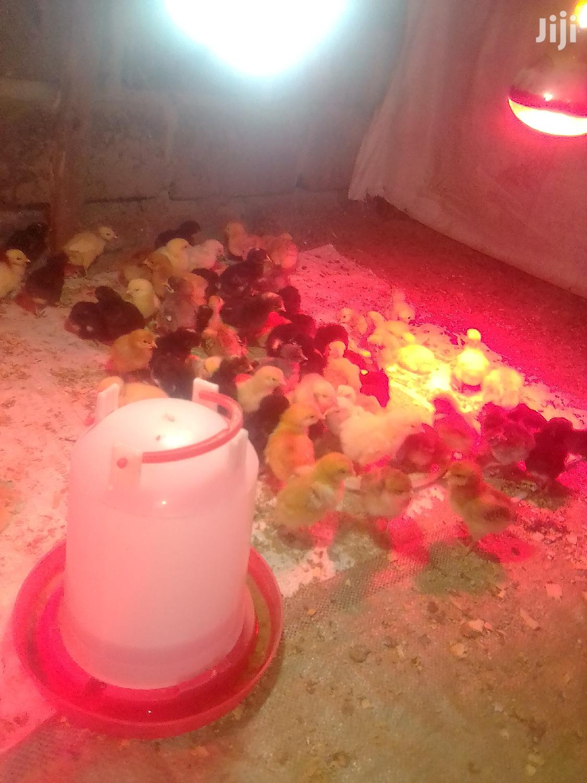 One Day Old Chicks | Livestock & Poultry for sale in Kisii CBD, Kisii, Kenya