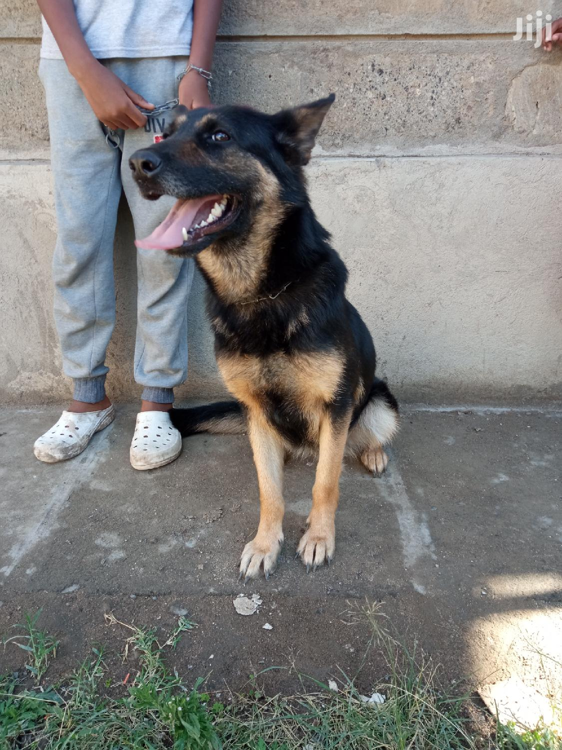 Archive: 6-12 Month Female Mixed Breed German Shepherd