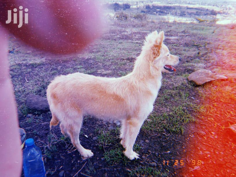 Archive: 1+ Year Female Purebred Japanese Spitz