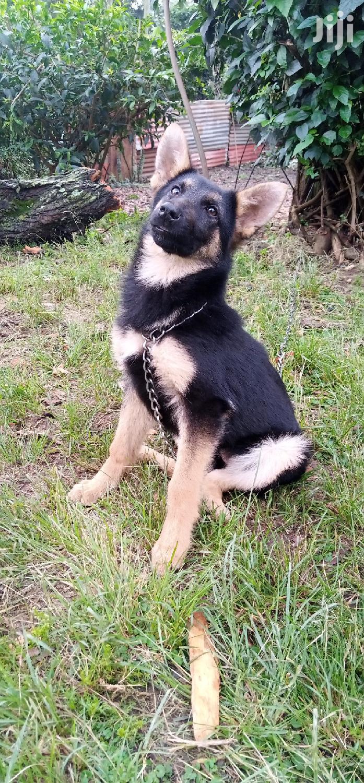 3-6 month Female Purebred German Shepherd