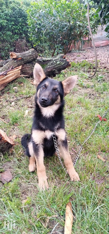3-6 month Female Purebred German Shepherd | Dogs & Puppies for sale in Karen, Nairobi, Kenya