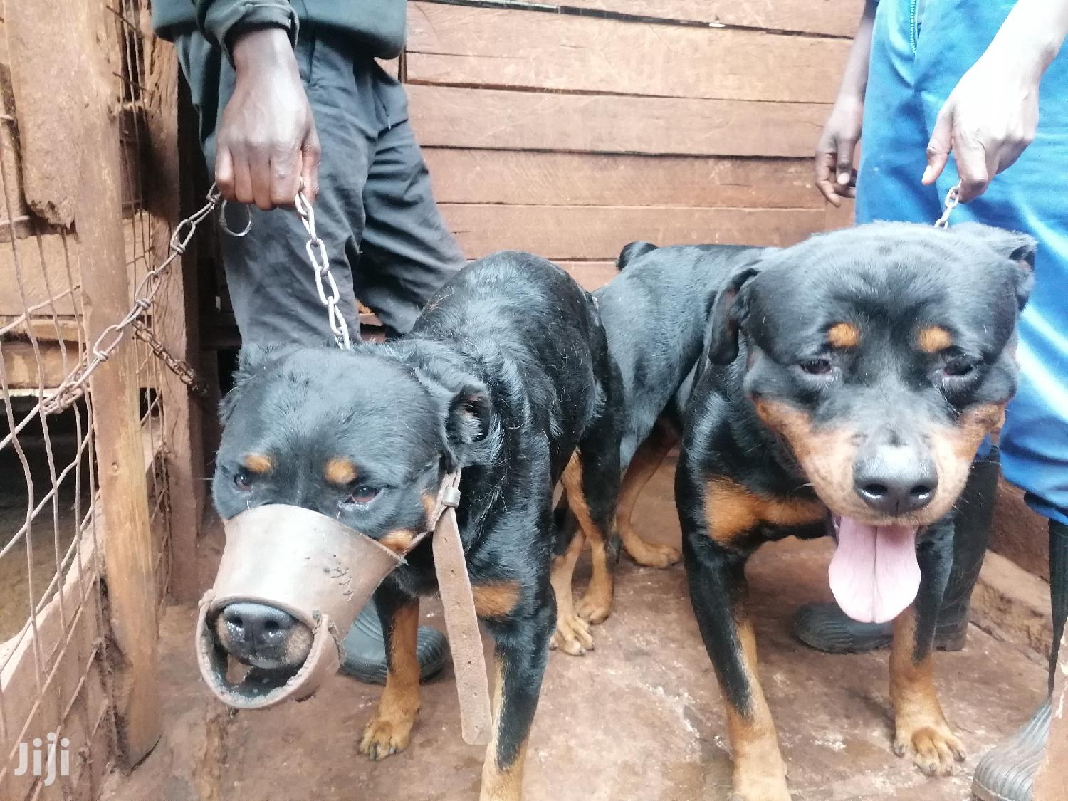 1-3 month Female Purebred Rottweiler | Dogs & Puppies for sale in Roysambu, Nairobi, Kenya