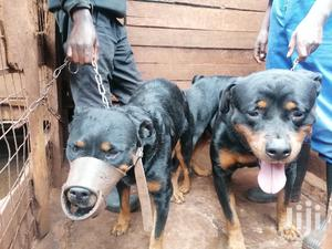 6-12 Month Female Purebred Rottweiler | Dogs & Puppies for sale in Nairobi, Roysambu