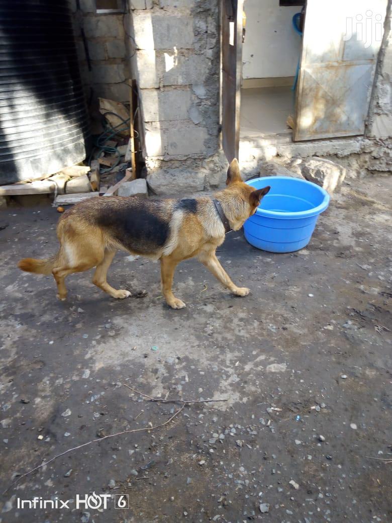 1+ year Female Purebred German Shepherd | Dogs & Puppies for sale in Nairobi Central, Nairobi, Kenya