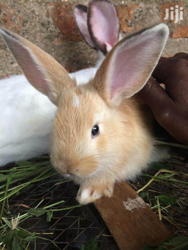 Archive: Giant Rabbits