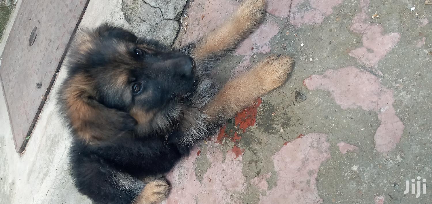 3-6 Month Male Purebred German Shepherd | Dogs & Puppies for sale in Embakasi, Nairobi, Kenya