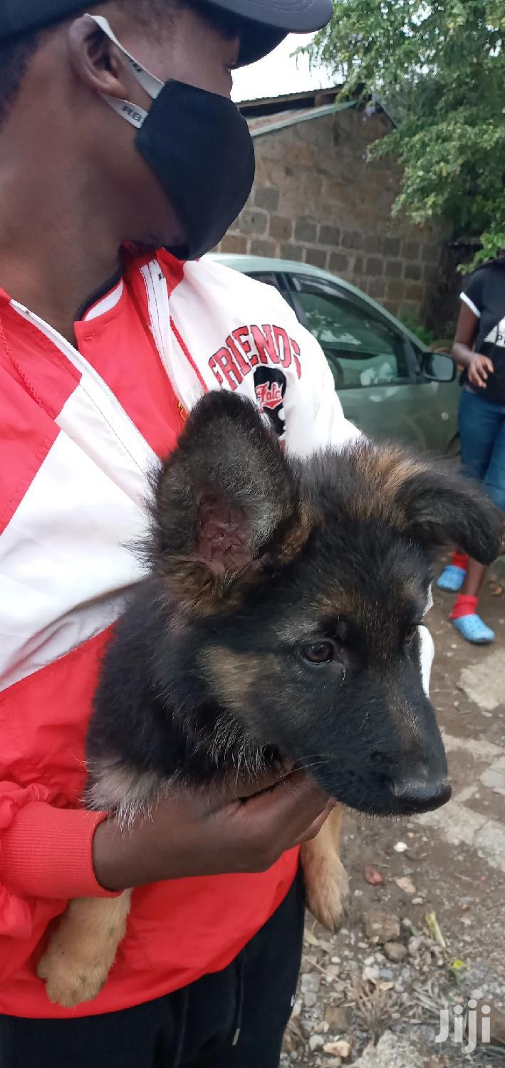 3-6 Month Male Purebred German Shepherd
