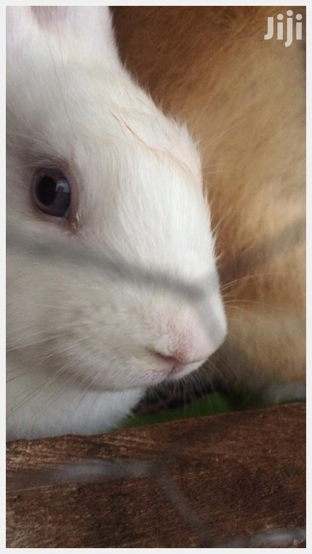 Archive: Exotic Giant Rabbits