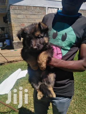 1-3 Month Female Purebred German Shepherd | Dogs & Puppies for sale in Uasin Gishu, Eldoret CBD