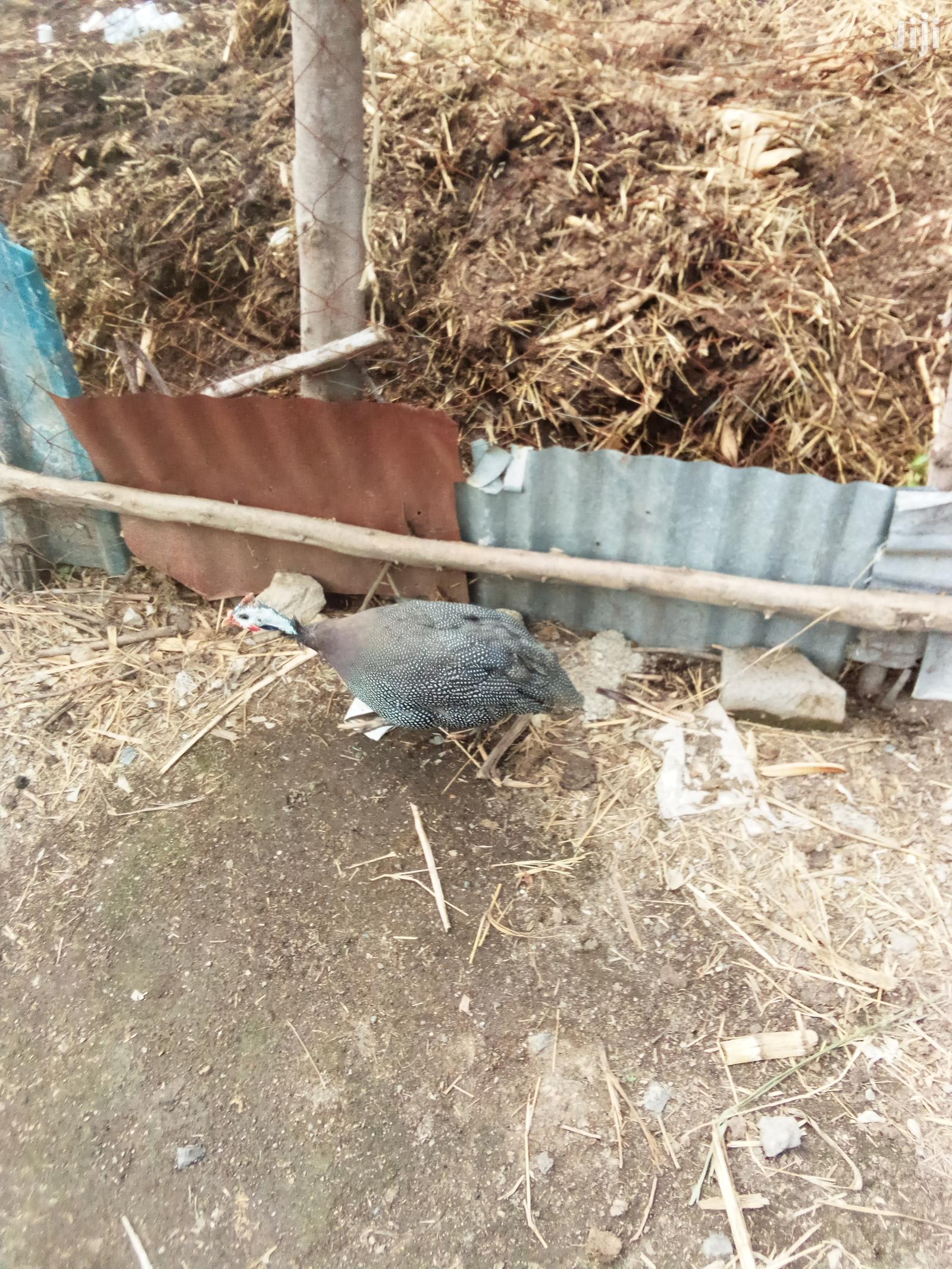 Archive: Mature Dotted Guinea Fowl Female