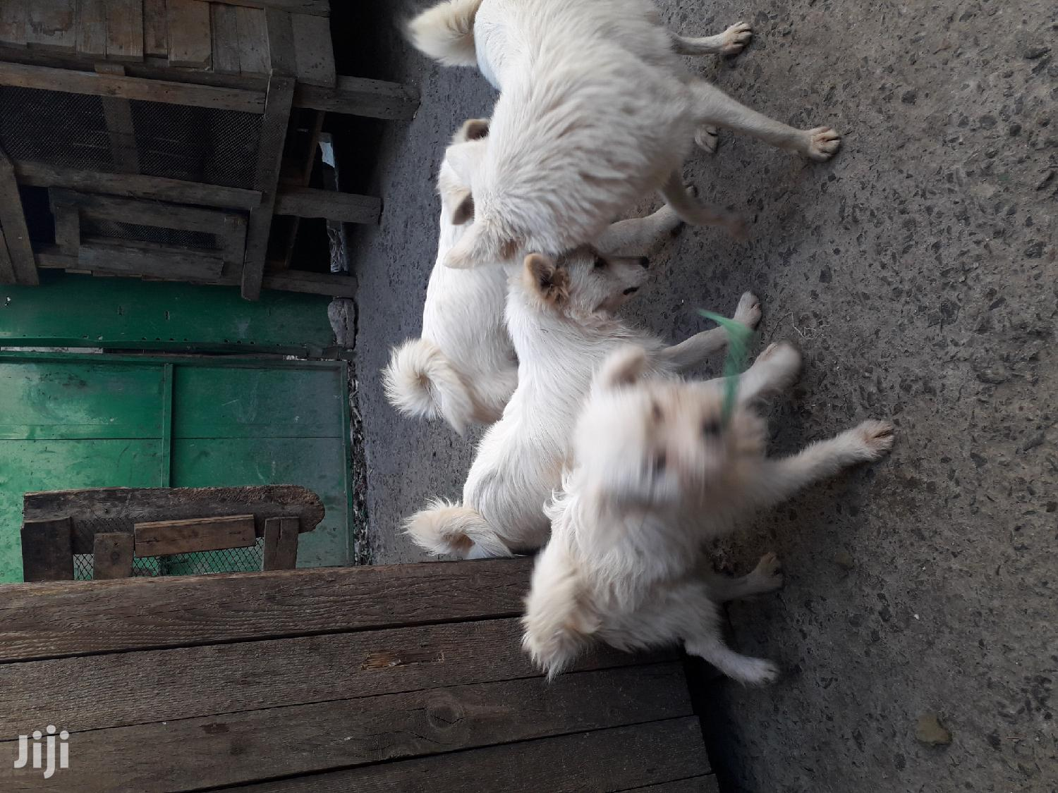 3-6 Month Male Mixed Breed Japanese Spitz | Dogs & Puppies for sale in Nairobi Central, Nairobi, Kenya