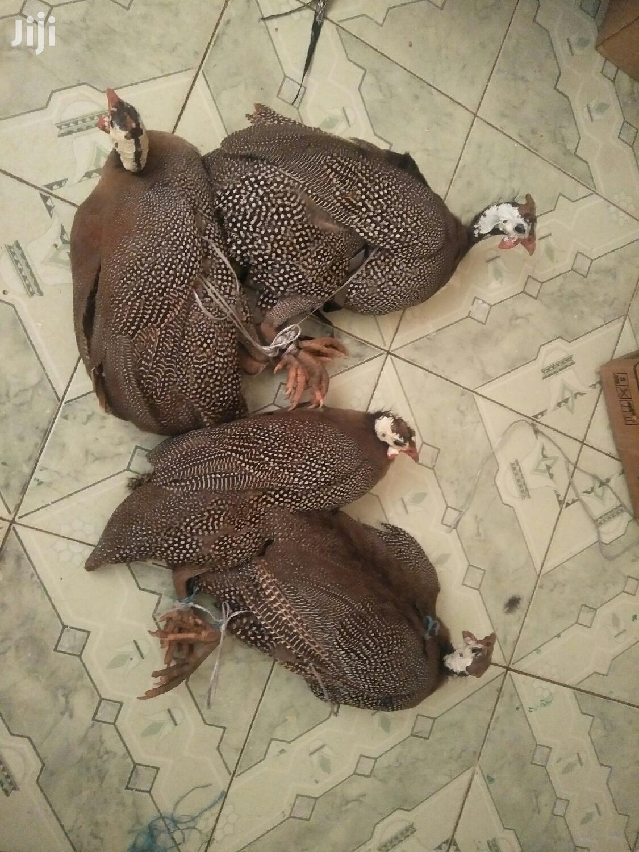 Mature Guinea Fowls (Kanga) | Livestock & Poultry for sale in Nairobi Central, Nairobi, Kenya