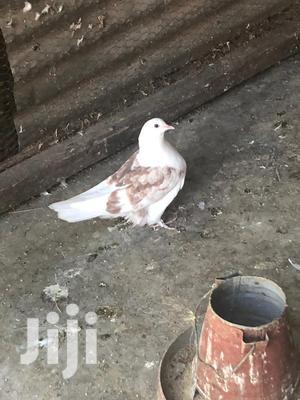 Shungi Doves | Birds for sale in Nairobi, Embakasi