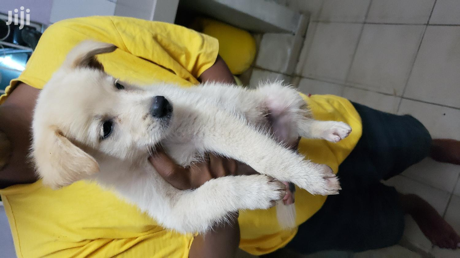 1-3 Month Male Mixed Breed Japanese Spitz | Dogs & Puppies for sale in Nyali, Mombasa, Kenya