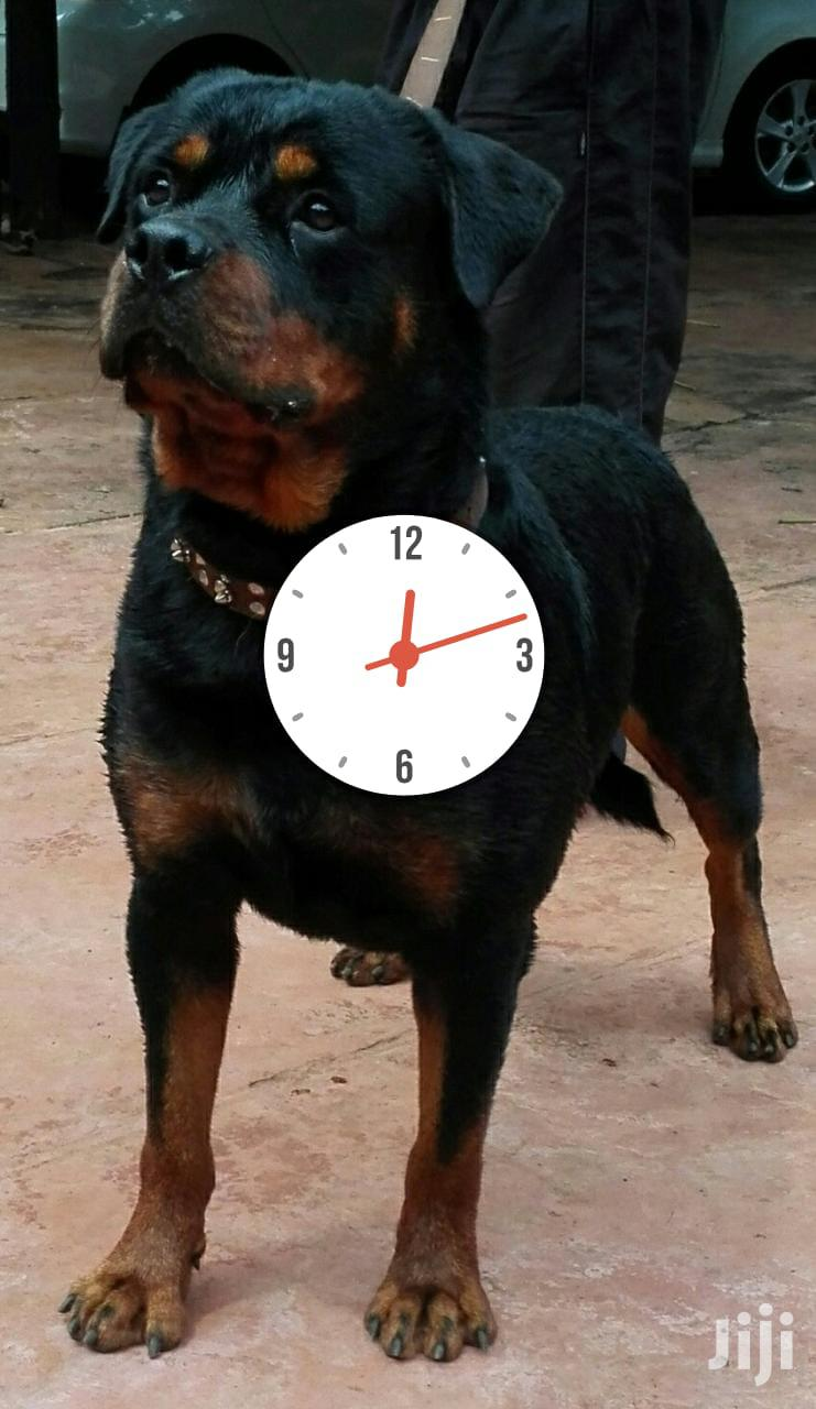 1+ Year Male Purebred Rottweiler | Dogs & Puppies for sale in Kerugoya, Kirinyaga, Kenya